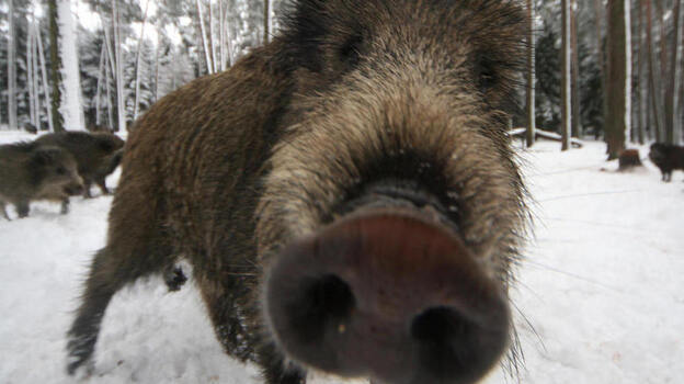 A wild boar near Allersberg, Bavaria. (AFP/Getty Images)