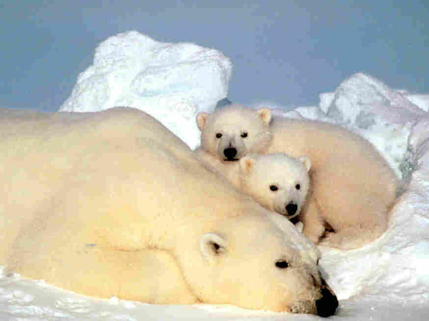 A researcher who wrote a famous report about dead polar bears was asked to take a polygraph test by a federal agent who has been investigating allegations of scientific misconduct. Above, a polar bear rests with her cubs on pack ice in the Beaufort Sea in northern Alaska.