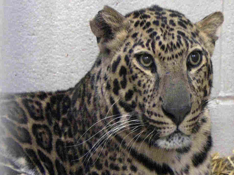 This photo provided by the Columbus Zoo and Aquarium shows one of three leopards that were captured by authorities near Zanesville, Ohio.