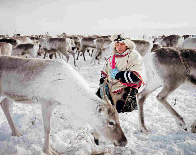 Nils Peder Gaup kneels calmly in the midst of the herd on which his livelihood depends.