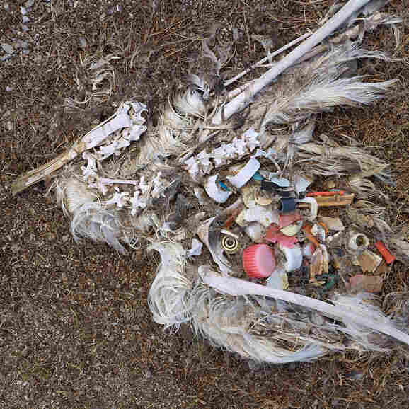 A photograph of a dead bird reveals the litter that killed it.