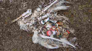 A photograph of a dead bird reveals the litter that killed it.