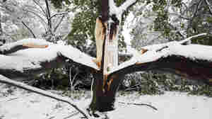 This tree split in two due to heavy snow on its branches in Belmont, Mass.