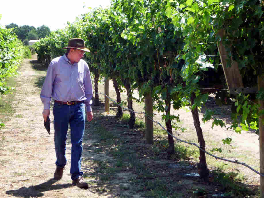 Grape breeder Andy Walker of the University of California, Davis inspects grapes on the campus vineyard. Walker says some Spanish or Italian grapes would do better in warmer temperatures, but growing and marketing new varieties is a big investment.