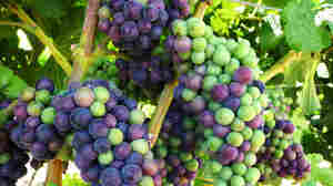 Climate Change Has Calif. Vintners Rethinking Grapes