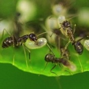 Animal Kings: Ants, like these workers carrying eggs to a plant's leaf after rain flooded their nest, have a combined biomass estimated in the billions of tons.