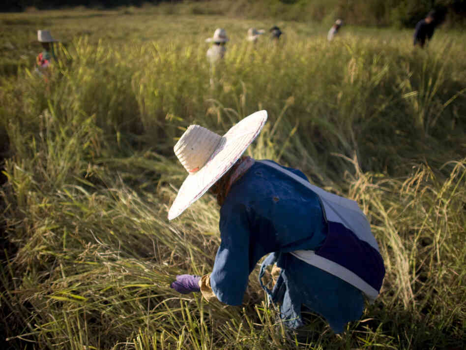 Rice farmers in Thailand, the world's leading rice exporter, harvest their crop in 2008. When the rice crisis hit, Thai government officials started talking about setting up a cartel