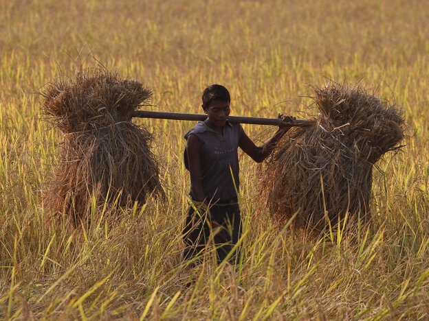 A farmer carries harvested rice on his shoulders in a paddy field in India.