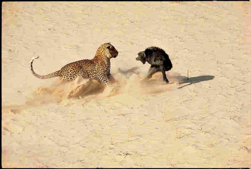 """Life wasn't all Hollywood glam. This wildlife scene in Botswana is from a 1966 """"Great Cats of Africa"""" photo essay."""