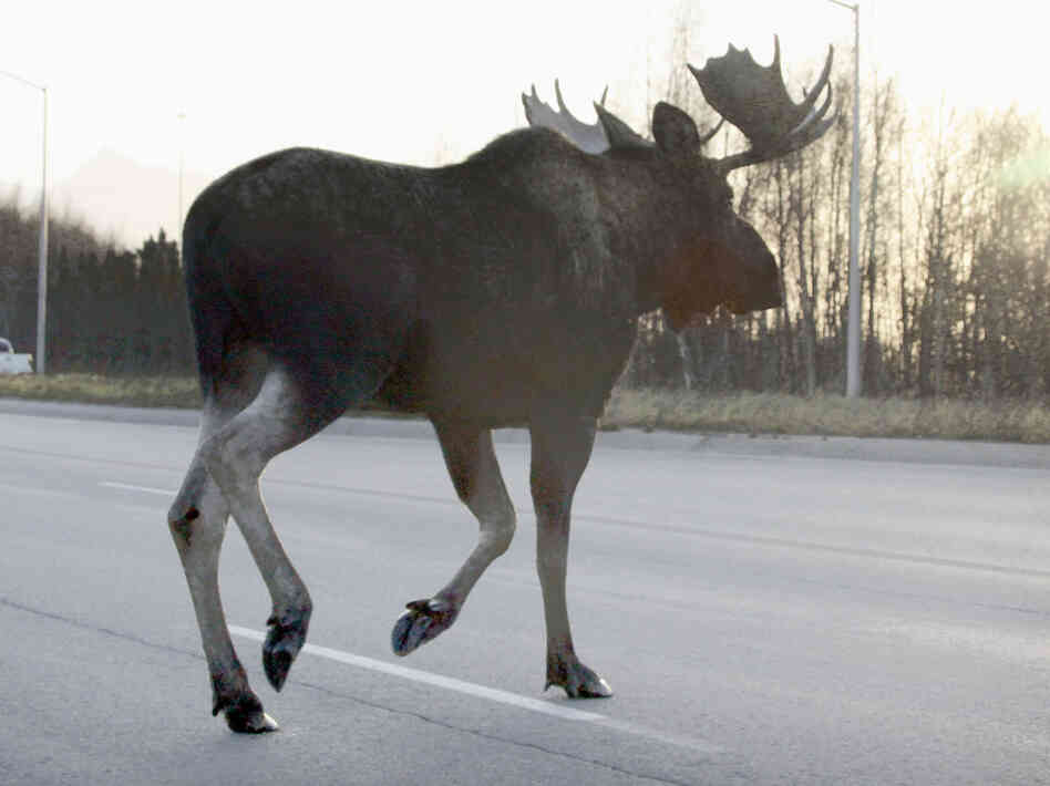 Alaskan moose that collide with cars and trains can end up as dinner for the needy in a unique partnership between the state and charity groups.