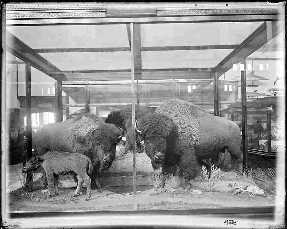 A group of bison exhibited in the South Hall of the U.S. National Museum, later known as the Arts and Industries Building. The bison were collected and mounted by William Temple Hornaday in 1886-1887.