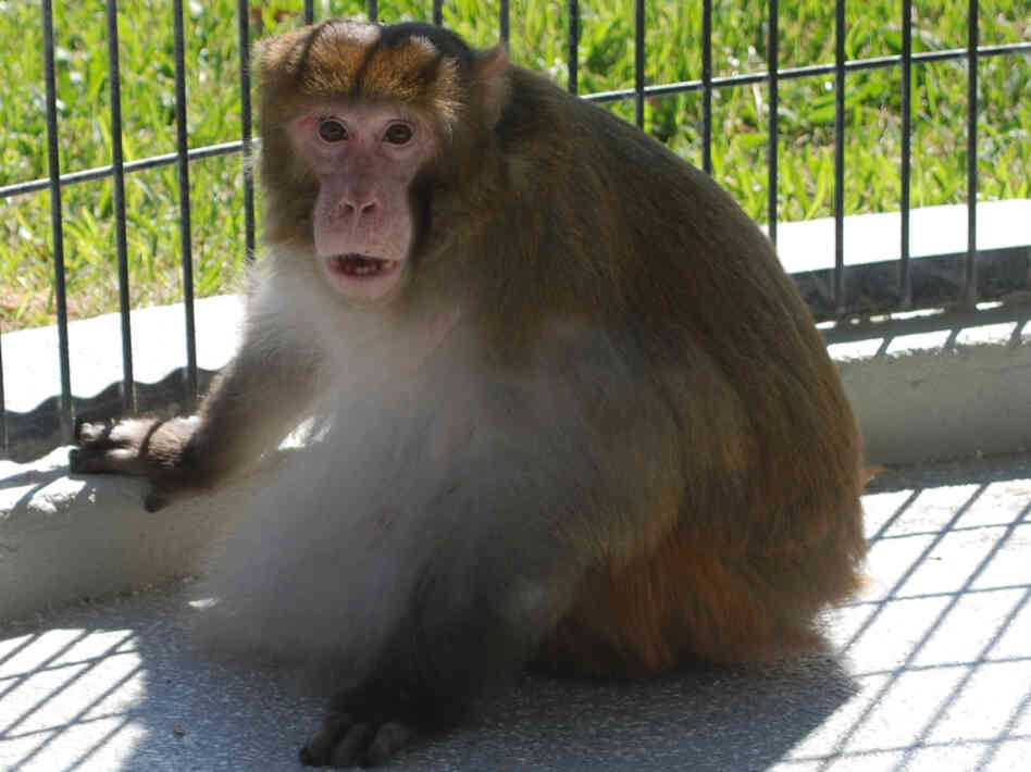 One of the monkeys that lost weight in a test of an experimental diet drug later regain