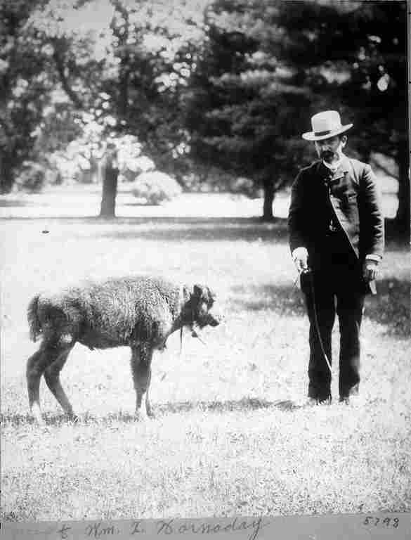 William Temple Hornaday with a baby bison known as Sandy, probably on the grounds adjoining the Smithsonian Castle. It is likely this is the bison calf Hornaday brought back from his 1886 summer field trip to Montana. The calf lived only a short time.