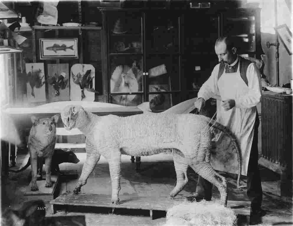 William Temple Hornaday working on a tiger model in a taxidermy studio that was located in the South Yard behind the Smithsonian Institution Building, circa 1880.