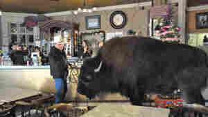 The Story Of A Guy And His Pet Buffalo