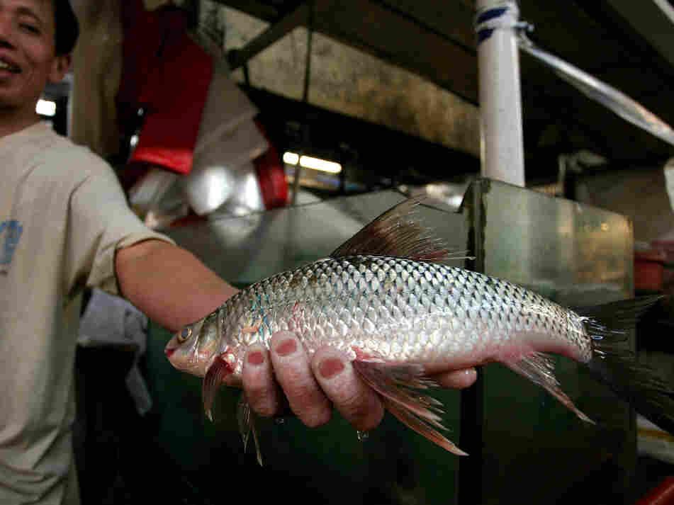 Farm raised tilapia with a dash of antibiotic the salt for Farm raised fish