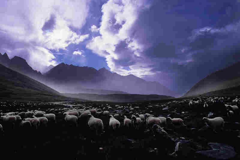 Sheep at sunset, Tibet, China, 1999