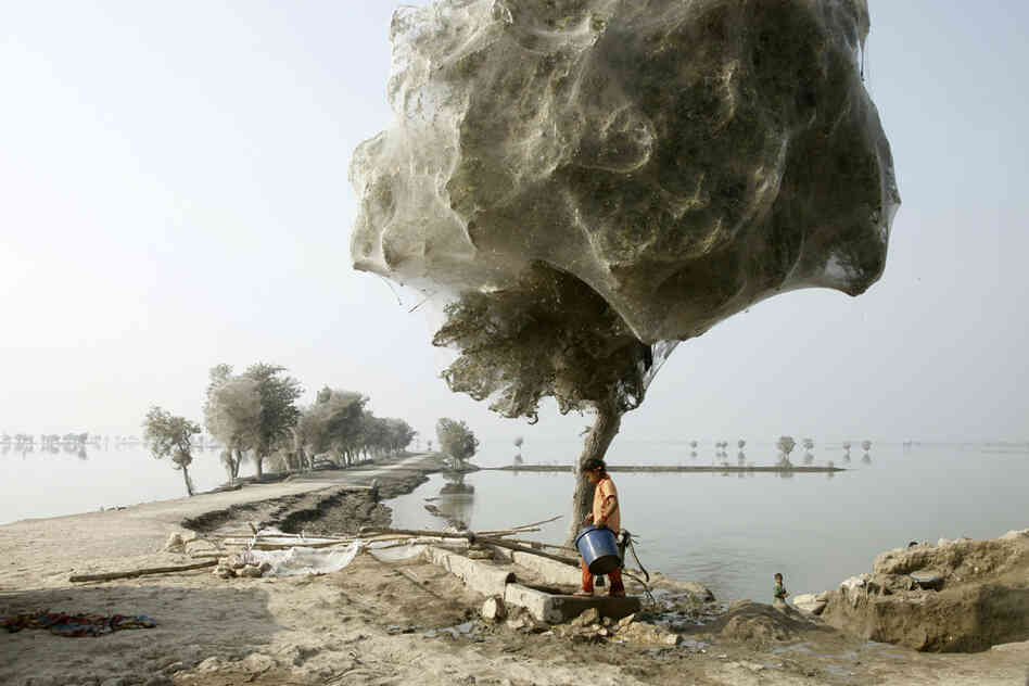 Because of the scale of the flooding and the fact that the water took so long to recede, many trees became completely cocooned in spiders webs.