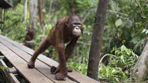 A juvenile orangutan at a rehabilitation center in Pasir Panjang, Central Kalimantan, Indonesia.