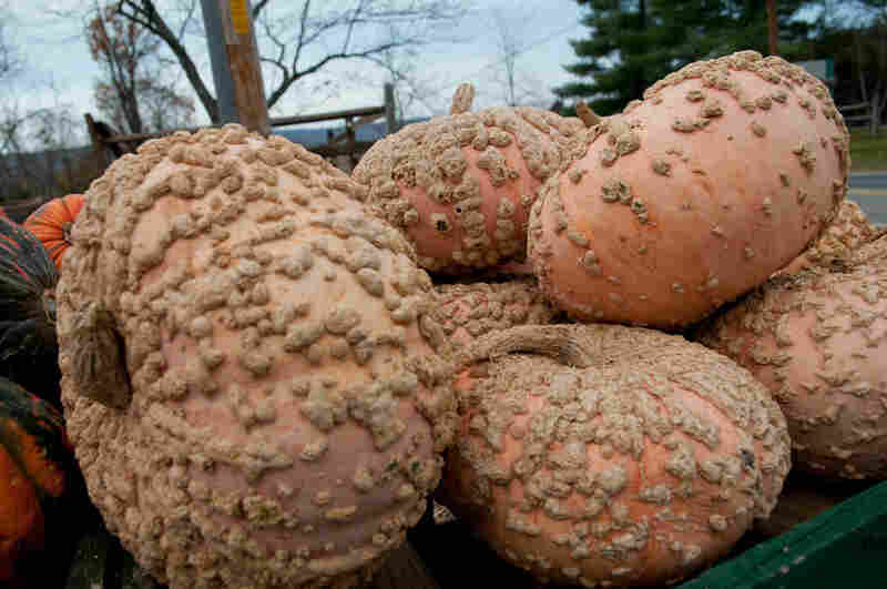 Peanut pumpkin is prized for its sweetness, and it is used in France for pies.