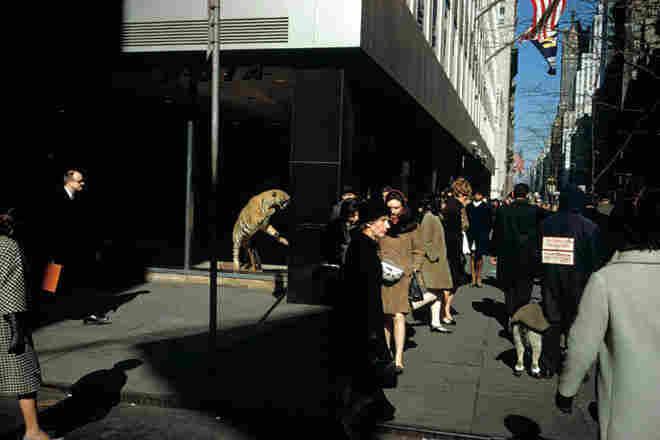 Tiger, 5th Avenue, 1975