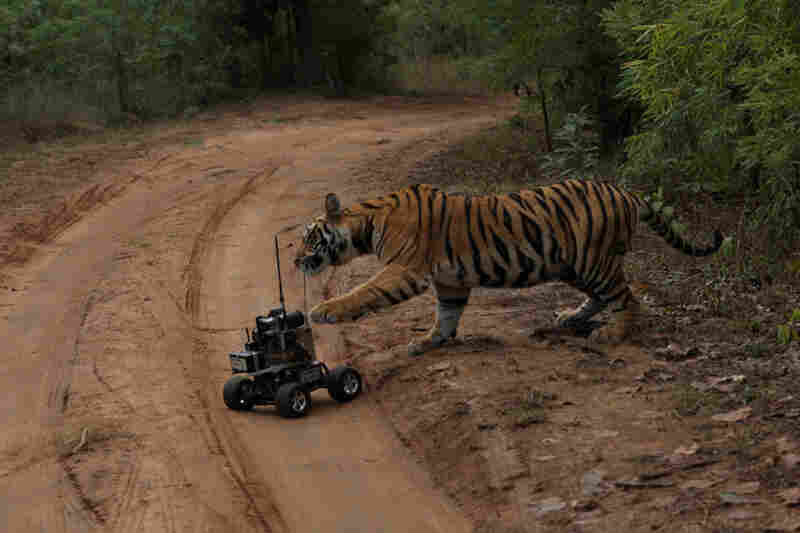 In India's Bandhavgarh National Park, a cub bats at a remote-controlled camera car that Winter used to document tigers in action.