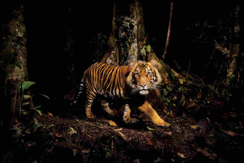 A tiger peers at a camera trap it triggered during an early-morning hunt in the forests of northern Sumatra, Indonesia. Tigers can thrive in many habitats, from the frigid Himalayas to tropical mangrove swamps in India and Bangladesh.