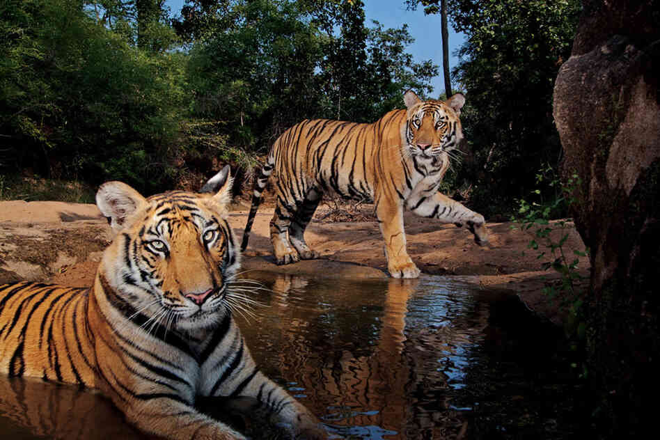 Meet Smasher — the male in the background. That's the name Steve Winter gave this youngster, cooling off in a watering hole in Bandhavgarh National Park, after he slapped the automated camera trap until it stopped clicking. Both tigers are thought to have killed people, and Smashe