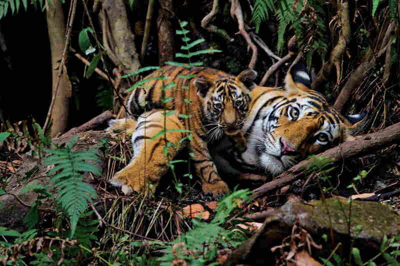 A tiger mother rests with her 2-month-old cub in Bandhavgarh National Park, where — contrary to the global trend — managers have built up tiger numbers.