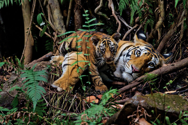 Photographer captures plight of the tiger the picture - Show me a picture of the tiger ...