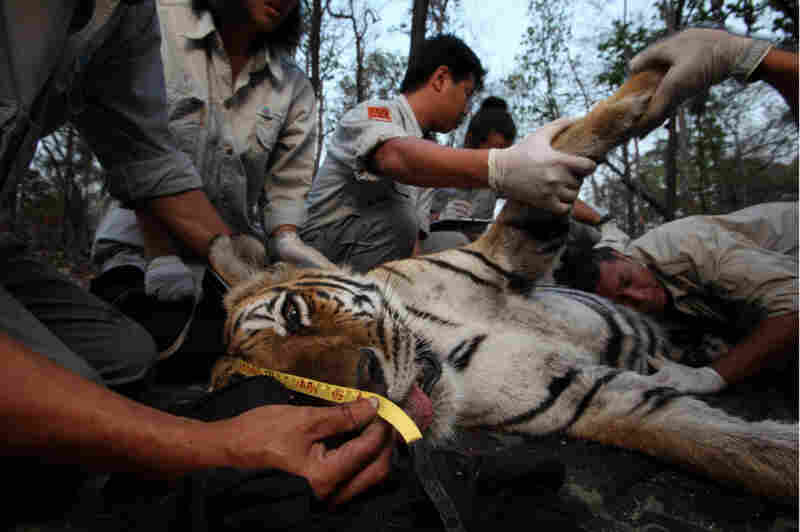 Saksit Simcharoen, a Thai researcher, puts his ear to the belly of a pregnant tiger, listening for fetal heartbeats. After measuring, weighing and fitting the sedated tiger with a radio collar, the team will release her back into the wild.