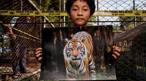 Dara Arista, 8, holds a photo of Sheila in front of the tiger's cage at the zoo in Jambi, Indonesia. Poachers had slaughtered Sheila during the night.