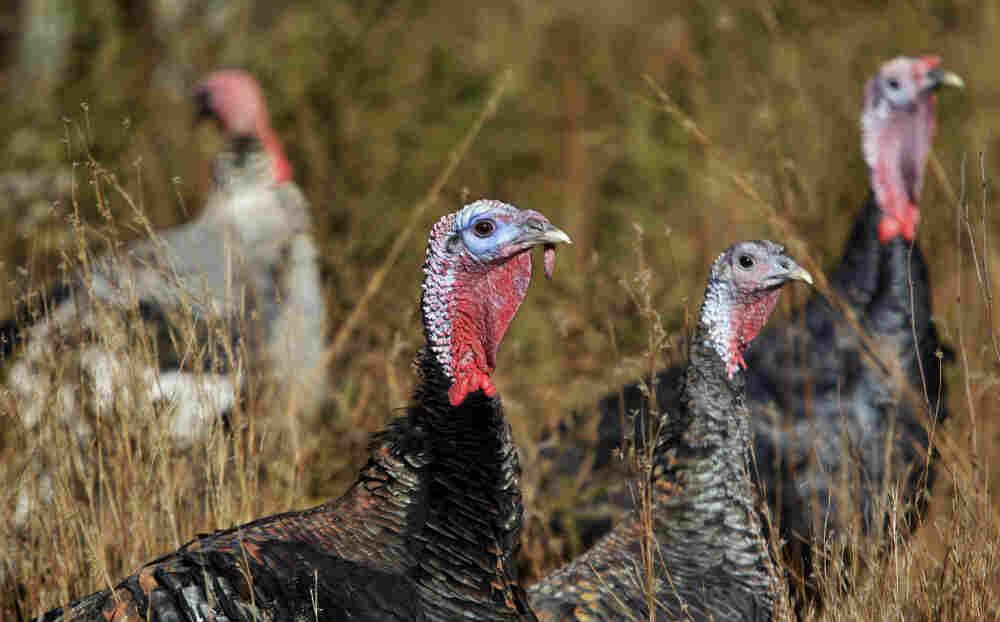 Narragansett and Standard Bronze heritage breed turkeys browse at a farm in Westport, Mass.