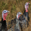 Narragansett and Standard Bronze heritage breed turkeys browse at a farm in Westport, Mass.