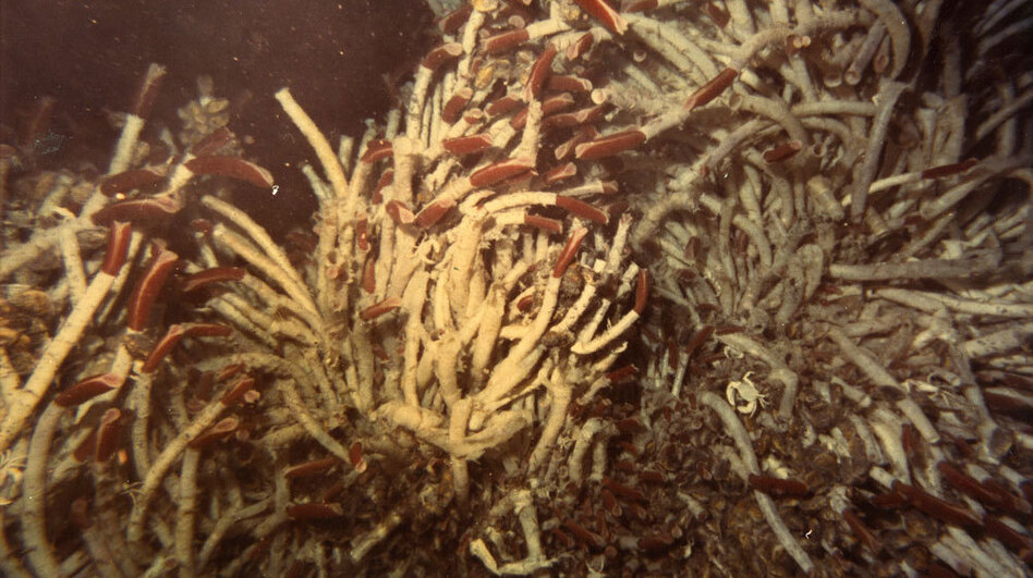 "Researchers named the area where they found the tubeworms the ""Garden of Eden"" because of the abundant life around the deep-sea vents."