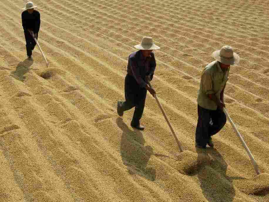 Soybean farmers in Xiangfan, in central China's Hubei province.