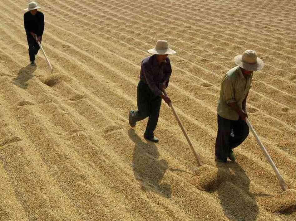 Soybean farmers in Xiangfan, in central China's Hubei province.
