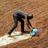 A worker shovels cocoa beans drying in the sun for export, in Guiglo in western Ivory Coast.