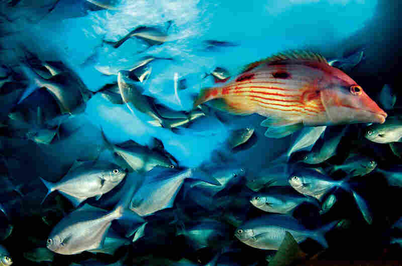 Red pigfish and blue maomao, New Zealand, 2006