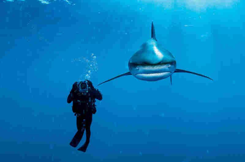 Oceanic whitetip shark, Bahamas, 2005