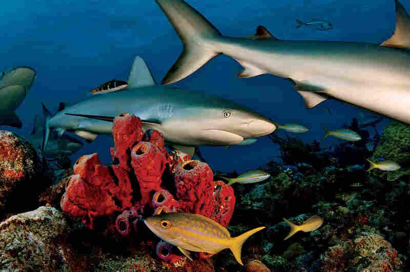 Caribbean reef sharks, Bahamas, 2005