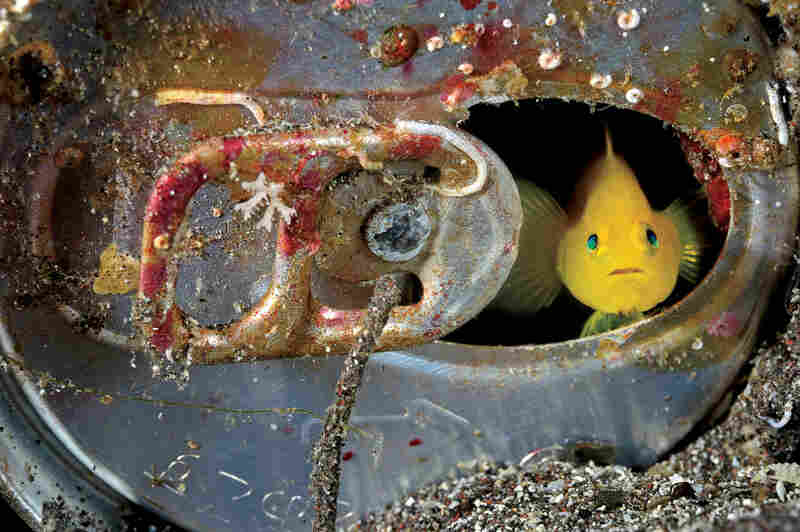 Yellow goby, Japan, 2008