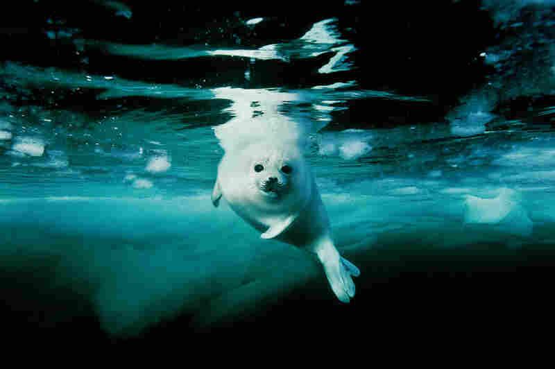 Harp seal pup, Canada, 2002