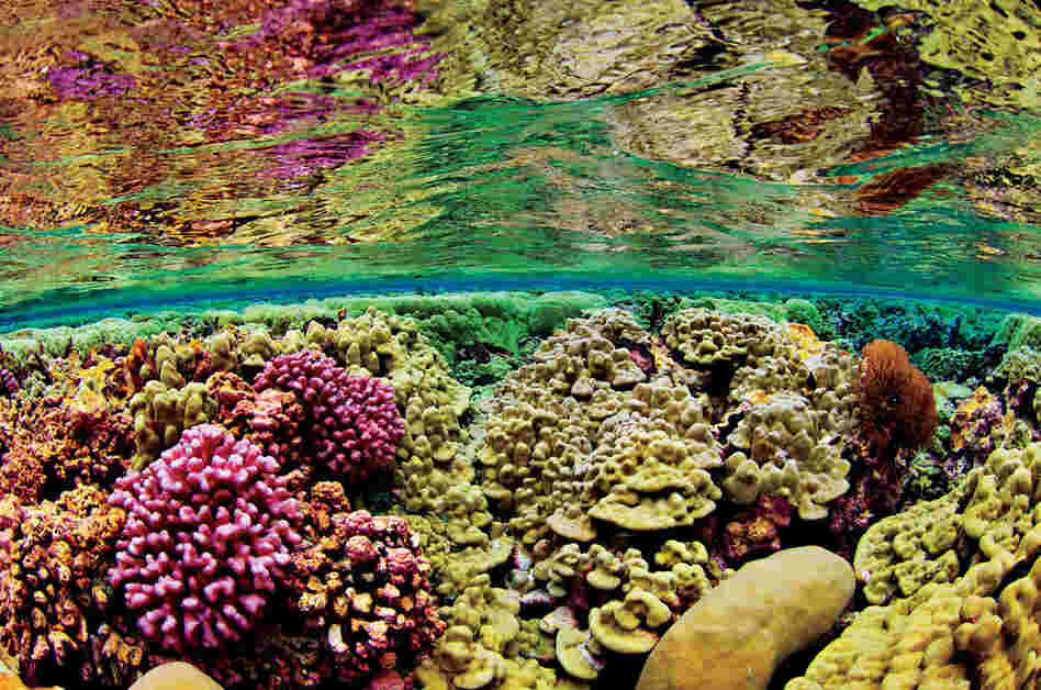 Shallow-water corals, Kingman Reef, 2007