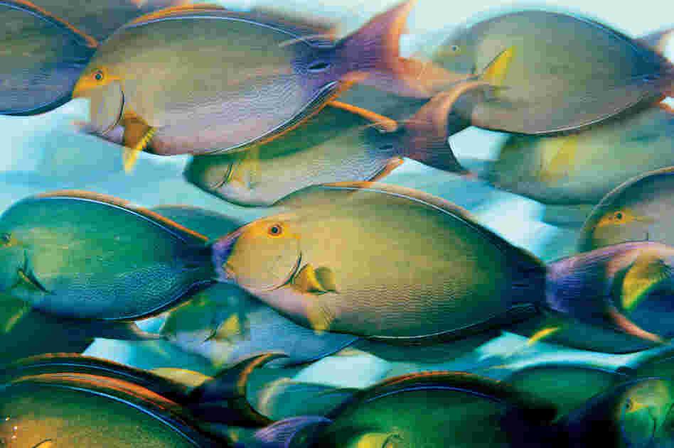 Yellow surgeonfish, Phoenix Islands, 2009