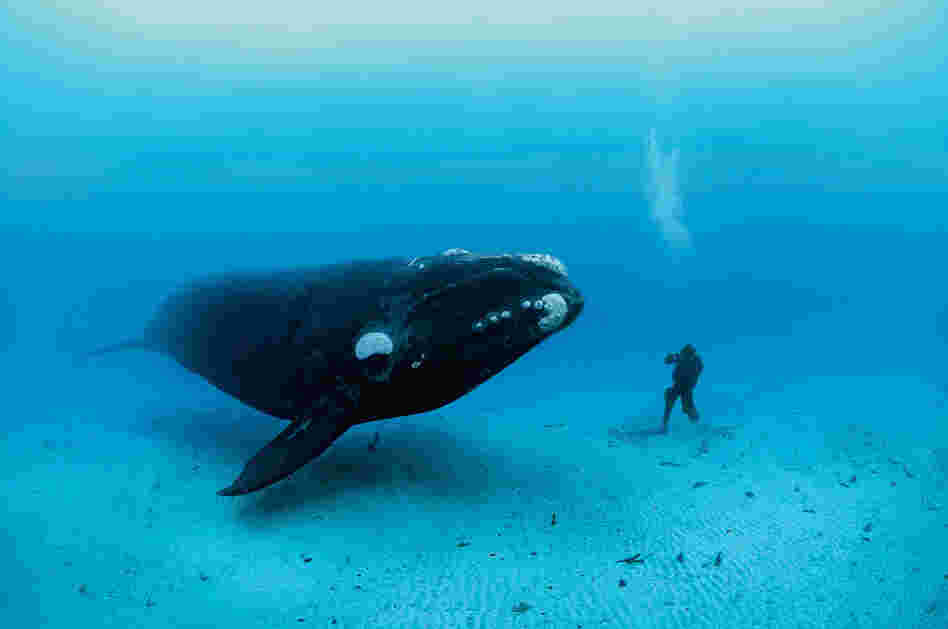 Southern right whale, New Zealand, 2007