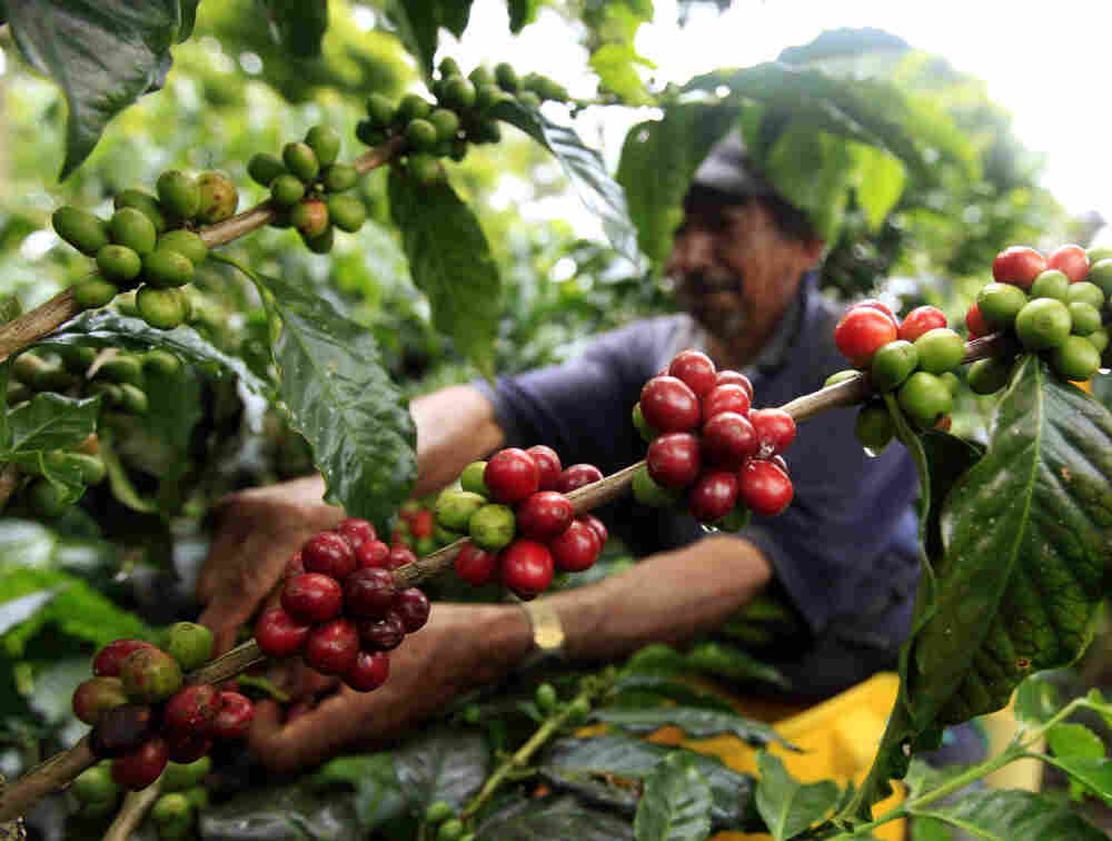 A coffee grower picks coffee fruits in a plantation near Montenegro in Quindio province, Colombia. Fair Trade USA wants to allow coffee from big estates like this one under its fair trade label.