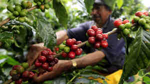 A coffee grower picks coffee fruits in a plantation near Montenegro in Quindio province, Colombia. Fair Trade USA wants to allow coffee from big estates like this one under its fair