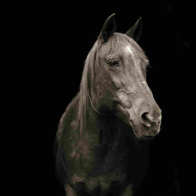 Pumpkin, Morgan Arabian Horse, Age 28