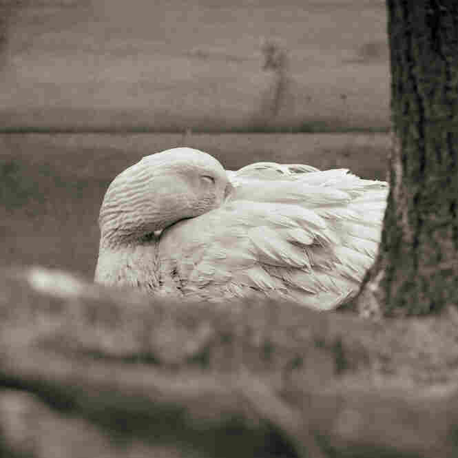 Embden Goose, Age 28 II